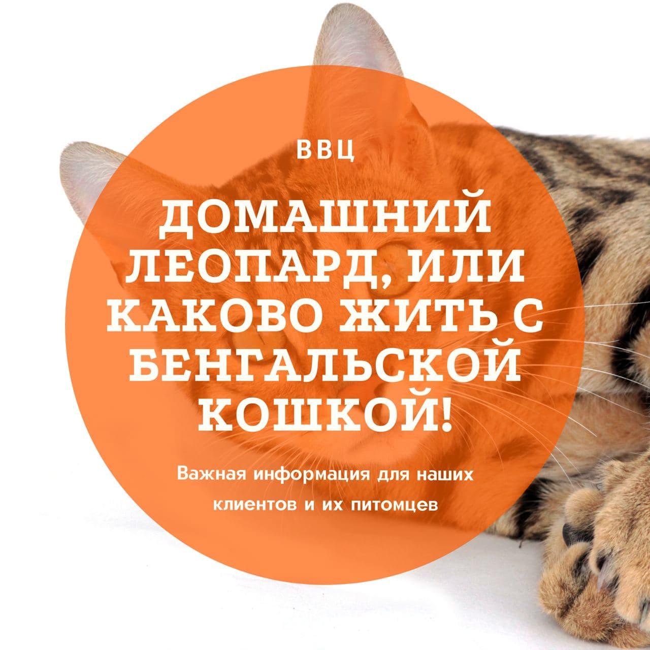 Домашний леопард, или каково жить с бенгальской кошкой!